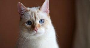 Kedinin Gözleri Nasıl Temizlenir?